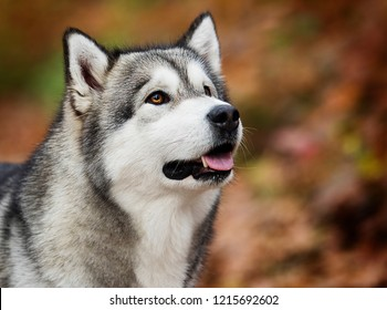Alaskan Malamute dog in the woods