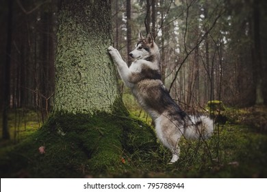 Alaskan Malamute in the forest like a wolf