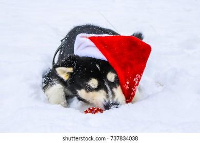 Alaskan Malamute, Husky in a Santa Hat lying in the Snow