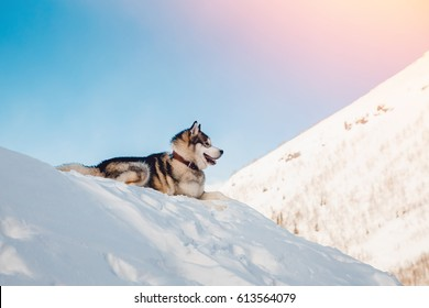 Alaskan Malamute, lies in sun in snow in winter against background of mountains, sunlight. On open air. Concept of walking with dog.