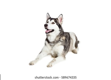 Alaskan Malamute lying on the floor, sticking the tongue out, isolated on white