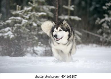 Alaskan Malamute in nature
