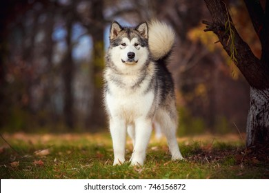 Alaskan Malamute on nature in the autumn park on a background of red and yellow leaves.