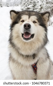 Alaskan Malamute on Snow