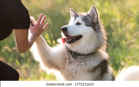 Alaskan malamute performing give paw trick with woman on sunny nature