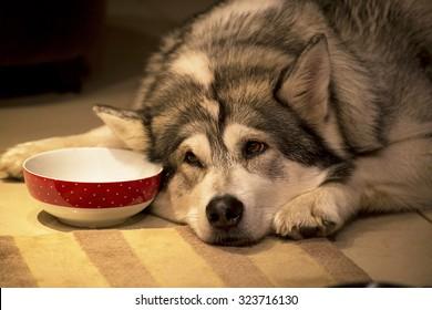 Alaskan malamute pet dog