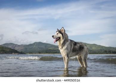 An Alaskan Malamute playing at the beach