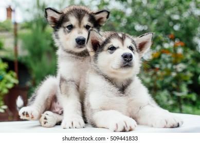 alaskan malamute puppies playing in garden