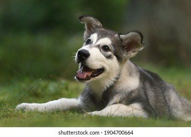 Alaskan Malamute puppy 4 months lying in forest