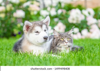 Alaskan malamute puppy embracing adult maine coon cat on green summer grass