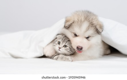 Alaskan malamute puppy hugs gray kitten under warm blanket on a bed at home. Empty space for text