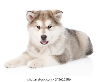 alaskan malamute puppy looking at camera. isolated on white background