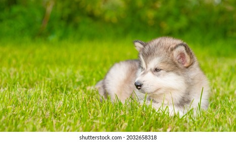 Alaskan malamute puppy lying on green summer grass and looking away on empty space
