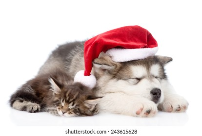 alaskan malamute puppy and maine coon kitten with red santa hat sleeping together. isolated on white background