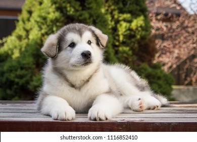 Alaskan malamute puppy posing outside. Small malamute in kennel.