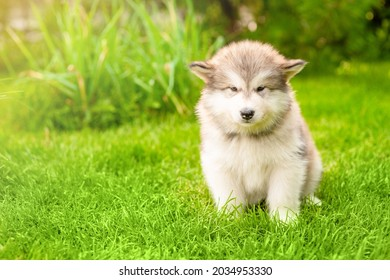 Alaskan malamute puppy sits on green summer grass in sun light. Empty space for text