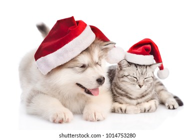 Alaskan malamute puppy and tabby cat in red christmas hats. isolated on white background.