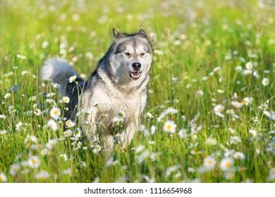 Alaskan malamute run  in green summer meadow