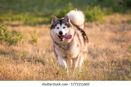 Alaskan malamute running on a field
