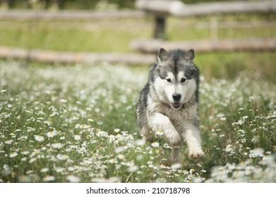 Alaskan Malamute runs happily on vacation in the summer