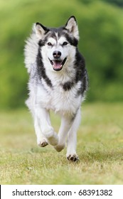 Alaskan Malamute runs happily on vacation in the spring