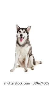 Alaskan Malamute sitting and looking at the camera, sticking the tongue out, isolated on white