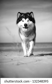 Alaskan Malamute smiles