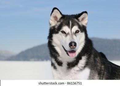 Alaskan Malamute in the snow