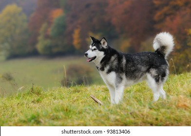 Alaskan Malamute standing in autumn over the meadow