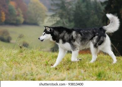 Alaskan Malamute walking in autumn and growls