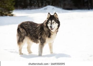 Alaskan malamute walks along the snowy plain