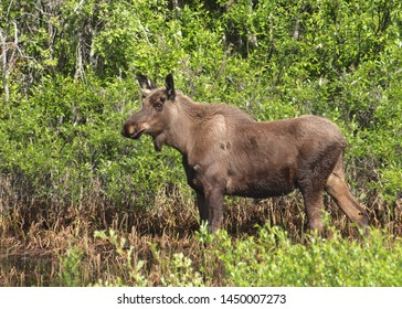 Alaskan Moose (alces alces gigas) (male)