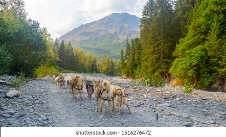 Alaskan sled dogs running along summer path in countryside near Seward, Alaska.
