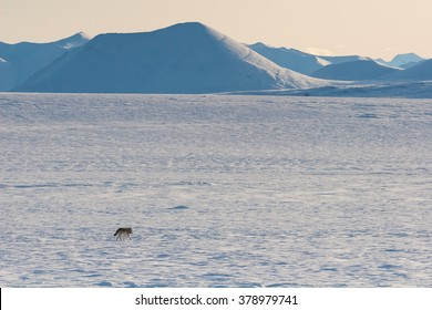 An Alaskan tundra wolf trots across the barren tundra toward the Philip Smith Mountains in the Arctic National Wildlife Refuge