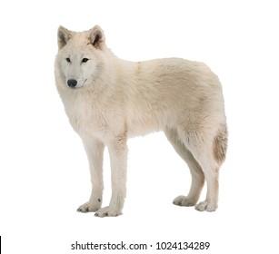 Alaskan tundra wolf. White Wolf. Isolated