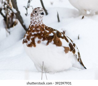 Alaska's state bird, the willow ptarmigan, in Denali National Park at the beginning of winter in the middle of molting from summer to winter plumage