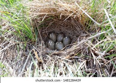 Alauda arvensis. The nest of the Skylark in nature. Russia. Russia, the Ryazan region (Ryazanskaya oblast)
