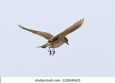 Alauda arvensis. The Skylark in flight to the Siberian steppe