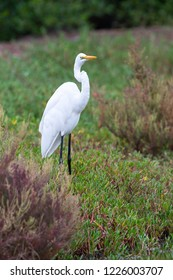 The great egret (Ardea alba),  The common egret or great white egret or great white heron. It is a large, widely distributed bird with four subspecies.