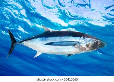 Albacore tuna fish Thunnus Alalunga underwater ocean [Photo Illustration]