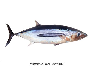 Albacore tuna fish Thunnus Alalunga isolated on white