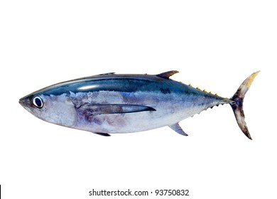 Albacore tuna Thunnus alalunga fish isolated on white