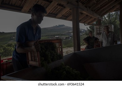 Alba,Italy-August 9, 2017: Advance of the grape harvests of the wineries for harvesting because of the hot climate in Piedmont