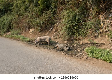 Albania: along the roadside these fearless pigs made up their mud hole and enjoy it obviously