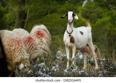 Albania landscape - sheep and guarding goat with the ringing bell in Albanian mountains  Prokletije, Korab, Kanali and Pindus. Green background farm animals.