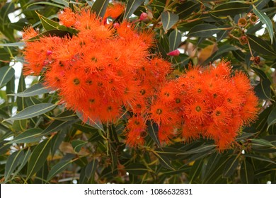 Albany red flowering gum blossoming during summer in Western Australia (Corymbia ficifolia)
