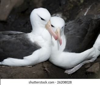 Albatross couple