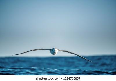 Albatross in flight, front view.  Shy albatross or shy mollymawk, scientific name : Thalassarche cauta.