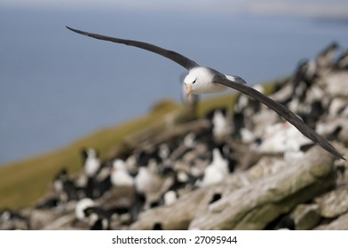 Albatross flying over colony