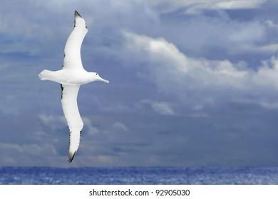 Albatross flying over dark ocean